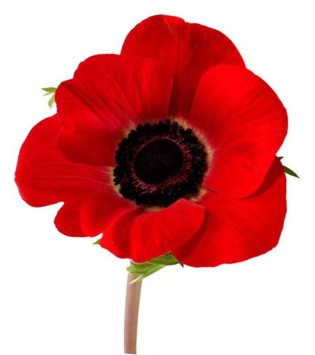 poppy1