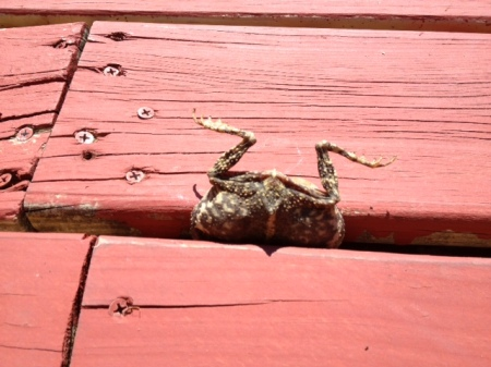 Frog dies caught between boards on a deck